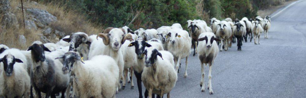 Poros Schafe